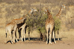 Giraffes feeding on a tree stock photography