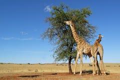 Giraffes feeding on a tree stock photos