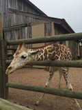 Pair of Giraffes in a wooden pen being fed lettuce with the head approaching the camera great nature shot with wildlife. Giraffes in a fenced yard eating lettuce royalty free stock photos