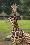 Giraffes on field. With thatched huts and trees in background Royalty Free Stock Photography