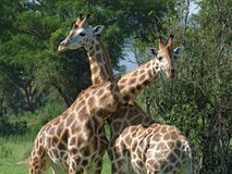 Giraffes at fight in Africa. Sunny detail of some Rothschild Giraffes at fight in Uganda (Africa royalty free stock photos
