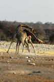 Giraffes Fight Royalty Free Stock Photo