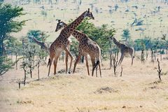 Giraffes fighting in Tanzania, Africa royalty free stock photo