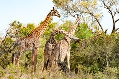 Giraffes fighting in Tanzania, Africa stock images