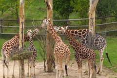 Giraffes. Five eating Rotschild´s giraffes in Prague zoo in Czech Republic animals Royalty Free Stock Photos