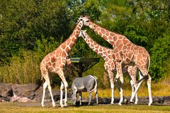 Giraffes forming a triangle with their necks and heads, while zebra eats grass at Bush Gardens stock photo