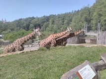 Giraffes in a free-flowing with a rocky valley stock photo