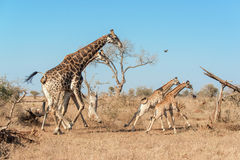 Giraffes galloping in the wild Stock Photos