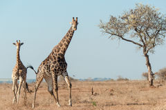 Giraffes galloping in the wild Royalty Free Stock Image