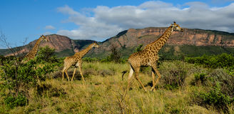 Giraffes in a game reserve Royalty Free Stock Photography