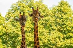 Giraffes (Giraffa camelopardalis). A couple of giraffes (Giraffa camelopardalis) rising their heads Royalty Free Stock Images