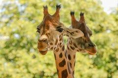 Giraffes (Giraffa camelopardalis). A couple of giraffes (Giraffa camelopardalis) rising their heads Royalty Free Stock Image