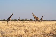 Giraffes, Giraffa camelopardalis in Etosha National Park, Namibia. Giraffes, Giraffa camelopardalis walking over the plains of Etosha National Park, Namibia stock photo