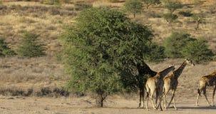 Giraffes feeding on a tree. Giraffes Giraffa camelopardalis feeding on a tree, Kalahari desert, South Africa stock video