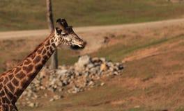 Giraffes, Giraffa camelopardalis Royalty Free Stock Photography