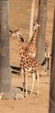 Giraffes, Giraffa camelopardalis Royalty Free Stock Image