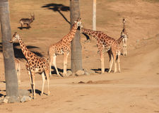 Giraffes, Giraffa camelopardalis Royalty Free Stock Images