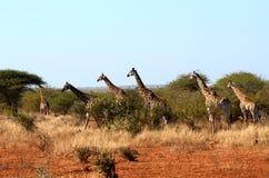 Giraffes (Giraffa camelopardalis) Stock Photography