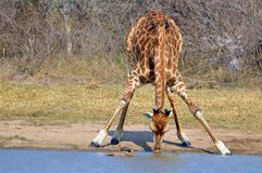 Giraffes (Giraffa camelopardalis). Drinking water at waterhole in Kruger National Park Royalty Free Stock Photo