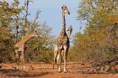 Giraffes in natural habitat Stock Image