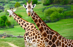 Giraffes. (Giraffa camelopardalis rothschildi) looking around Stock Images
