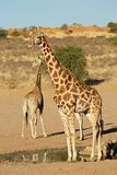 Giraffes at a waterhole - Kalahari desert royalty free stock images