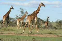 Giraffes Giraffa CamelopardalisTwigs Masai στο swahilubin Masai Mara Κένυα στοκ εικόνα