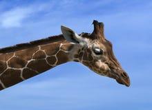 Giraffe Giraffa. Giraffes Giraffa in front of blue background Royalty Free Stock Images