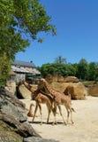 Family of three Giraffes Stock Images