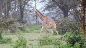 Giraffes gracefully walking and then looking stock video