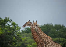 Giraffes at the grasslands on the area of the Ezulwini Game Lodge Stock Image