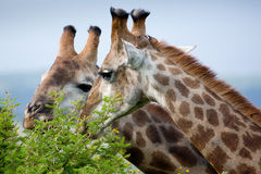 Giraffes grazing Royalty Free Stock Image