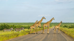 Giraffes in a green savannah crossing the road, Kruger Park, South Africa. Group of giraffes in a green savannah crossing the road, Kruger Park, South Africa Stock Photography