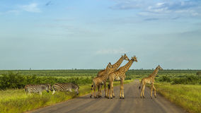 Giraffes in a green savannah crossing the road, Kruger Park, South Africa. Group of giraffes in a green savannah crossing the road, Kruger Park, South Africa Stock Image