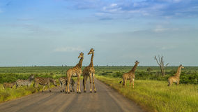 Giraffes in a green savannah crossing the road, Kruger Park, South Africa. Group of giraffes in a green savannah crossing the road, Kruger Park, South Africa Stock Images