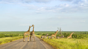 Giraffes in a green savannah crossing the road, Kruger Park, South Africa. Group of giraffes in a green savannah crossing the road, Kruger Park, South Africa Royalty Free Stock Image