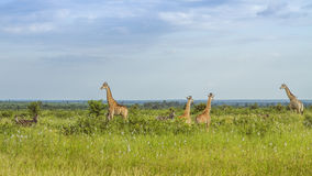 Giraffes in a green savannah , Kruger Park, South Africa. Giraffes in a green savannah , Kruger National Park, South Africa Royalty Free Stock Photography