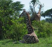 Giraffes in green vegetation. Some Rothschild Giraffes in Uganda (Africa) while resting in shrubby ambiance Stock Photos