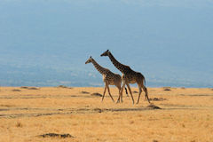 Giraffes grouped in the Masai Mara, Kenya. Stock Images