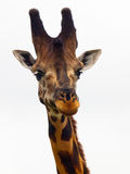 Giraffes head close-up  Royalty Free Stock Image