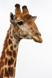 Giraffes head Stock Images