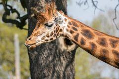 Giraffes head with tongue sticking out stock photo