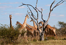 Giraffes herd Stock Photo