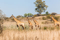 Giraffes Herd Calf's Wildlife Stock Photo