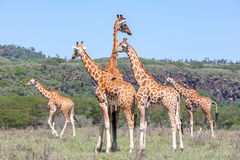 Giraffes herd in savannah Royalty Free Stock Photography