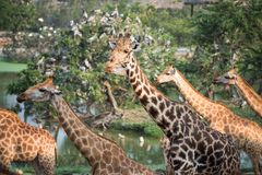 Giraffes group in the forest. Giraffes Herd walking at the forest with many birds and tree background by top view. Mammal animal group near the pond and wood Royalty Free Stock Photography