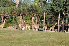 Giraffes. Herd of giraffes in the wild in Florida Royalty Free Stock Photography
