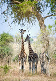Giraffes hid from the sun in an acacia shadow. Royalty Free Stock Images