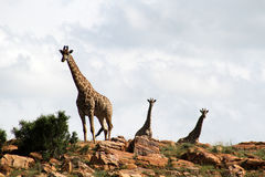 Giraffes high on rocky hill. Landscape photo of giraffes on rocky hills.  The South African giraffe or Cape giraffe (Giraffa camelopardalis giraffa) is a Royalty Free Stock Photography