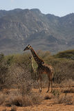 Giraffes in the hills Royalty Free Stock Photo